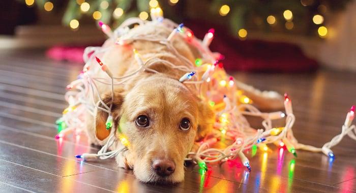 dog with holiday lights