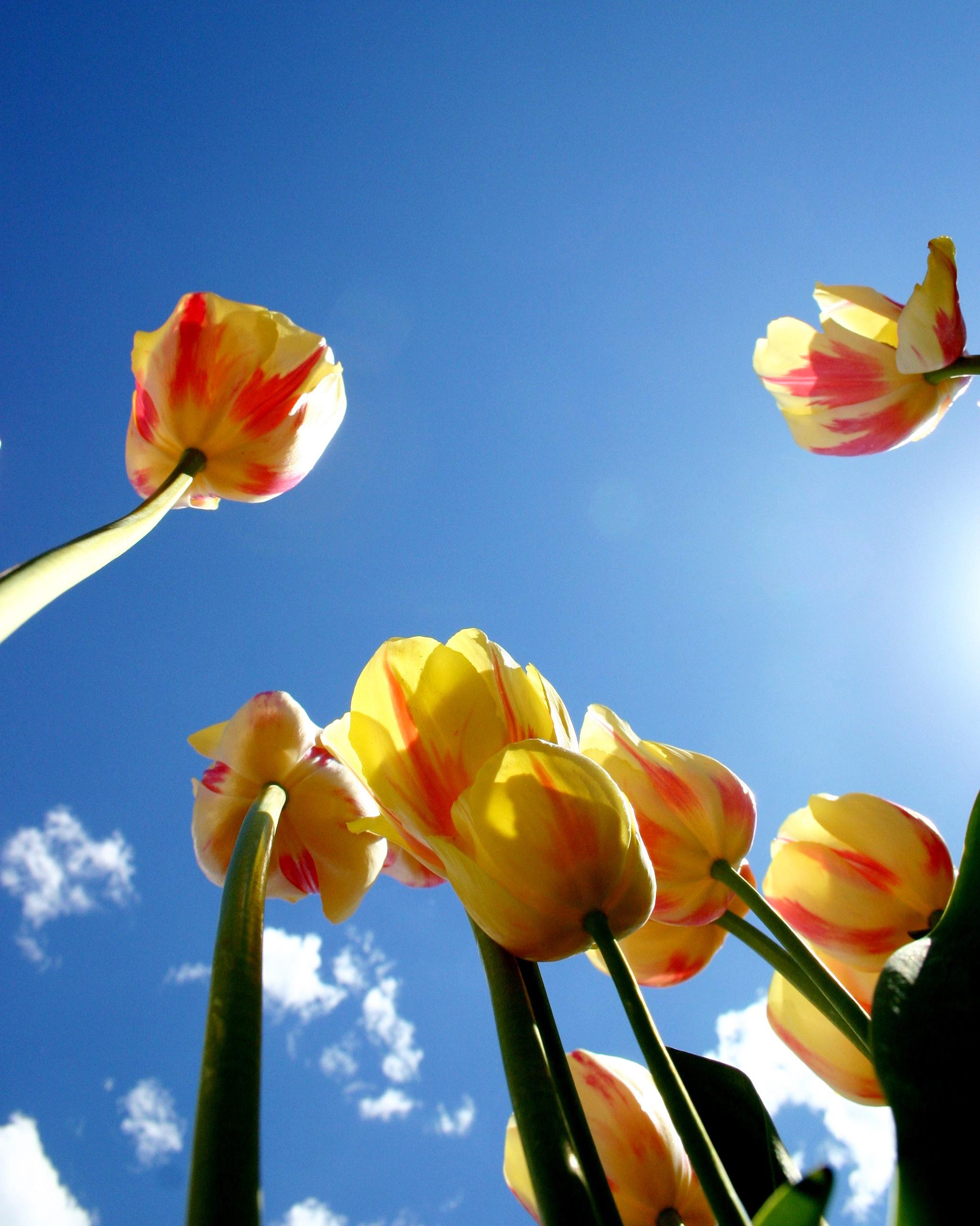 tulips shot from below